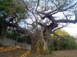 Centuries-old baobab being strangled by a strangler fig - picture copyright Rupi Mangat